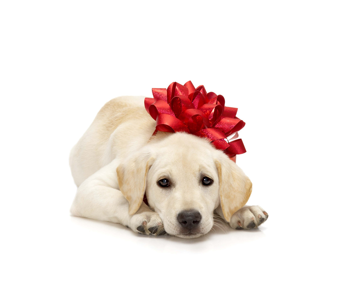 GUIDE Dogs Victoria is putting the call out for new puppy raisers from