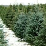 christmas trees 1.